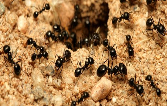مورچه کارگر