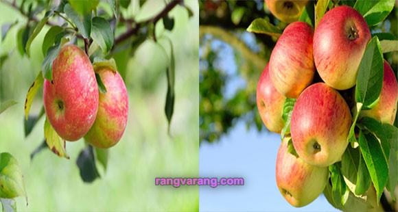 سال آوری در درخت سیب
