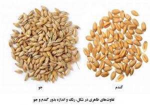 تفاوت-گندم-و-جو-از-نظر-انازه-و-رنگ-بذر