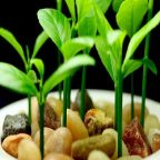 نحوه  کاشت  و سبز کردن هسته میوه ها: