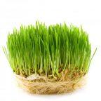 نکات مهم در کاشت و پرورش سبزه: