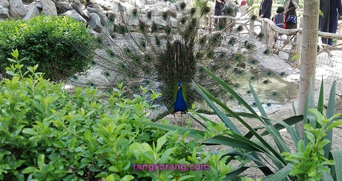 لحظه باز شدن پرهای طاووس
