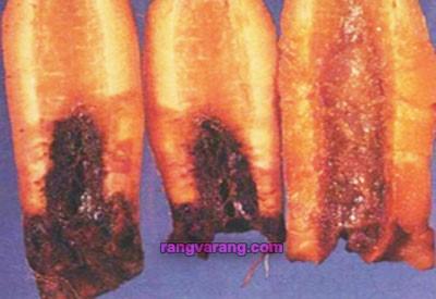 بیماری پوسیدگی نرم باکتریایی هویج