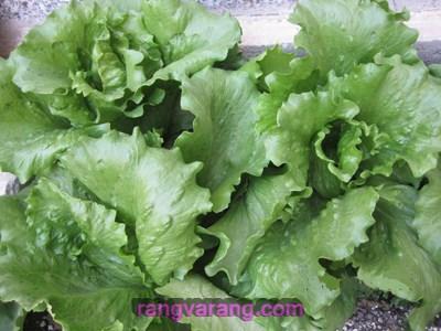 کاشت کاهو در باغچه