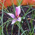 آموزش نحوه کاشت و پرورش زعفران در گلدان: