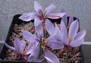 آموزش نحوه کاشت و پرورش زعفران در گلدان