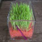 آموزش کاشت سبزه گندم با خاک ژله ای: