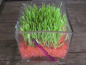 آموزش کاشت سبزه گندم با خاک ژله ای