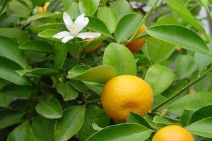 آشنایی با نارنگی،خواص و مضرات آن