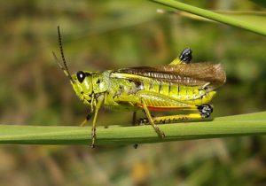 حشرات مضر و چگونگی ایجاد خسارت توسط آنها
