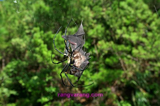 عنکبوت خفاش خوار