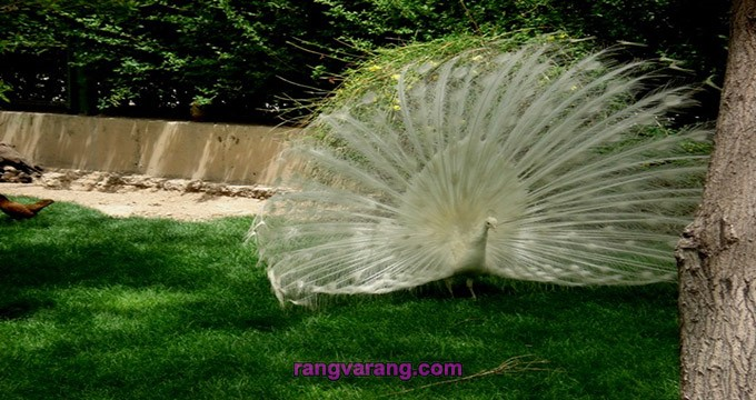 طاووس سفید باغ پرندگان