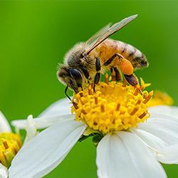 دانستنی هایی درباره زنبور عسل